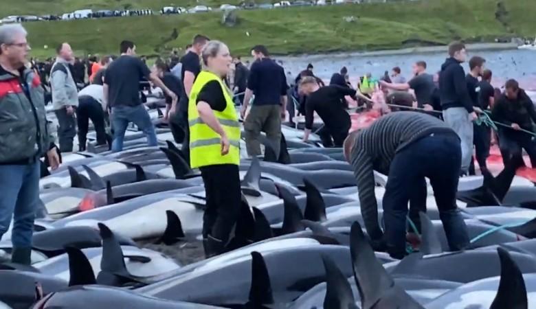 На Фарерских островах убили 1,5 тысячи дельфинов во время охоты. Это шокировало жителей