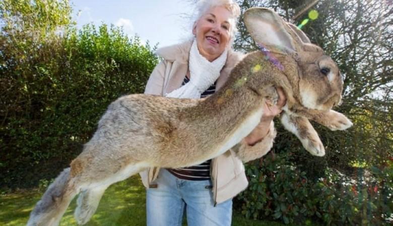 В Великобритании у бывшей модели Playboy украли самого крупного в мире кролика