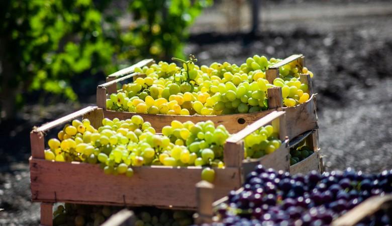 В Крыму собрали рекордный урожай винограда