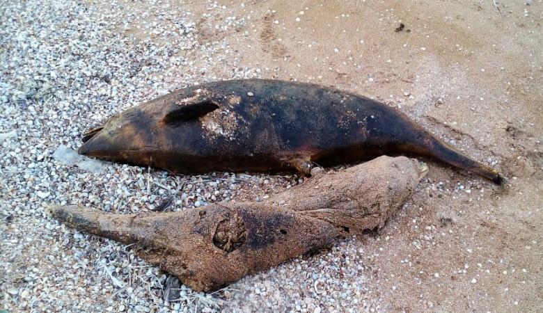 В Крыму зафиксирована массовая гибель дельфинов